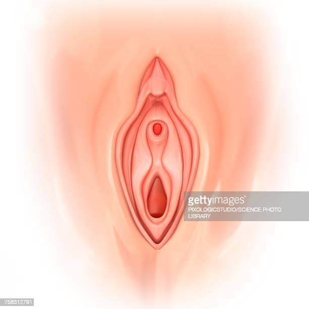 female genitals, illustration - female likeness stock illustrations