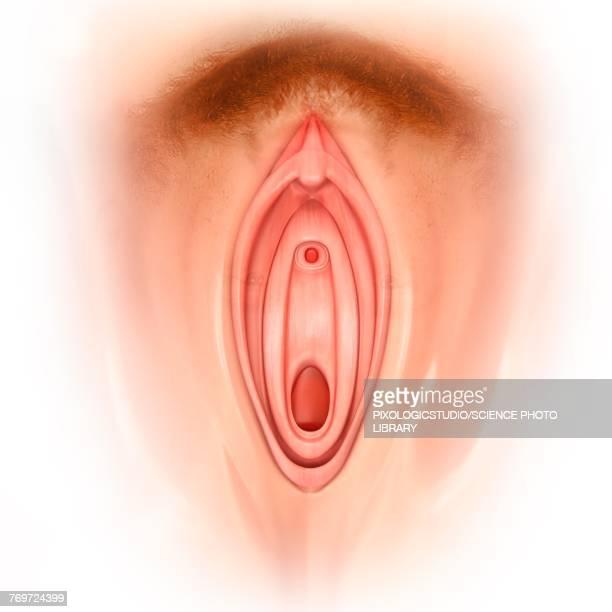 Female Genitals Illustration