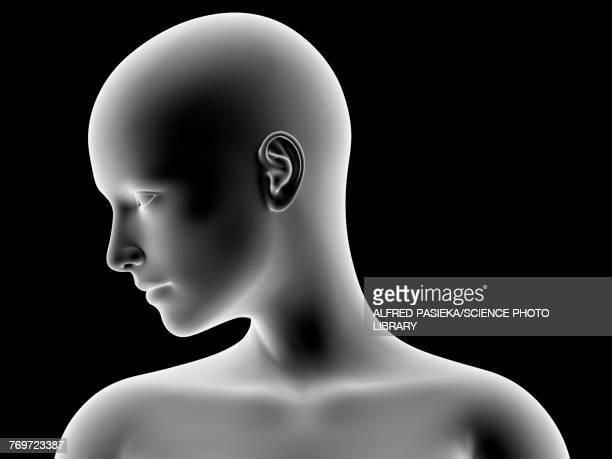 ilustrações, clipart, desenhos animados e ícones de female head and shoulders, illustration - cabeça humana