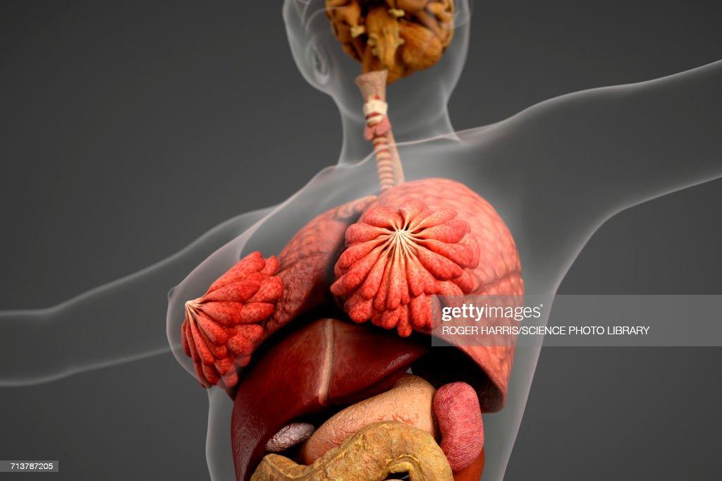 Female Internal Organs Stock Illustration Getty Images