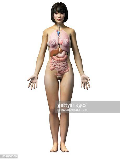 24 022 Female Anatomy Photos And Premium High Res Pictures Getty Images