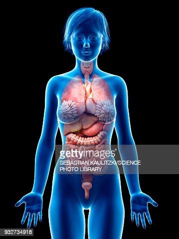 Female Internal Organs Illustration Stock Illustration Getty Images