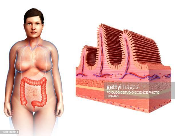ilustraciones, imágenes clip art, dibujos animados e iconos de stock de female intestinal villi, illustration - intestino grueso humano