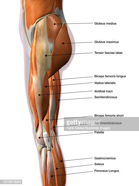 female leg muscles, lateral view, with labels. - forearm stock illustrations, clip art, cartoons, & icons