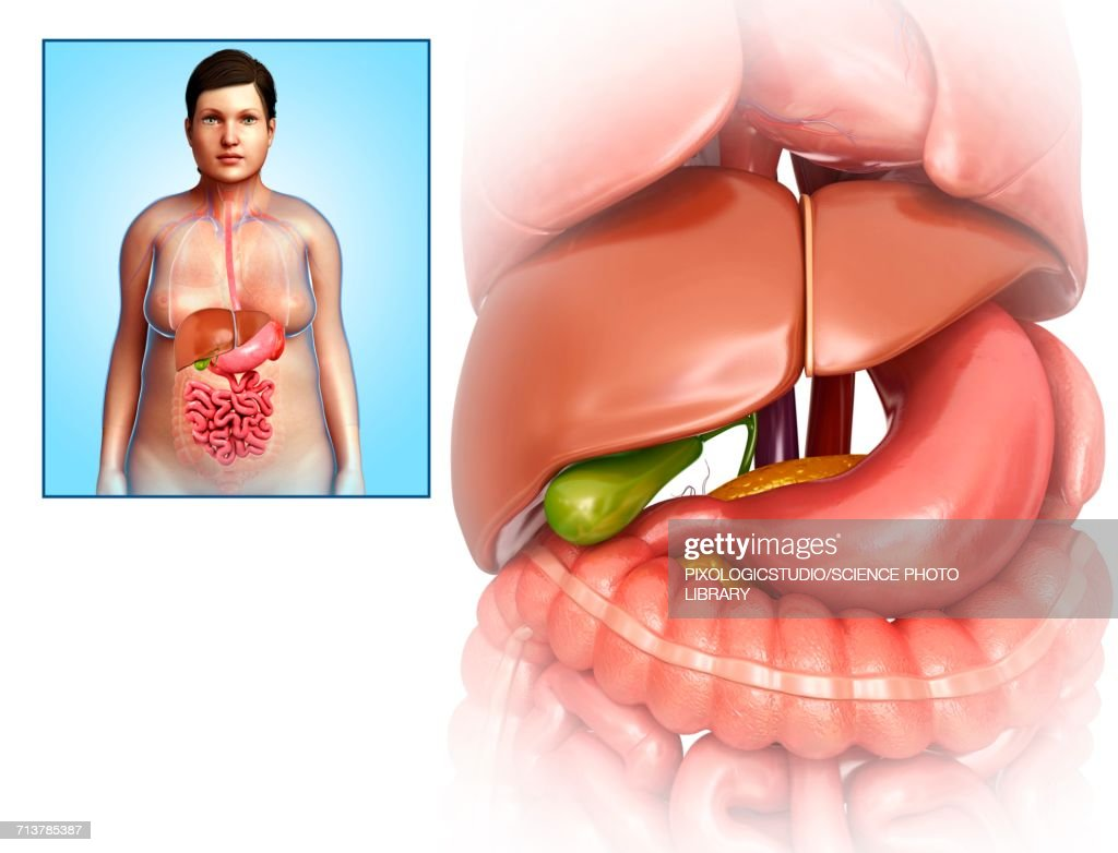 Female Liver And Stomach Anatomy Illustration Stock Illustration