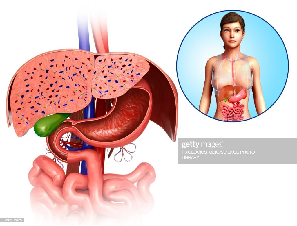 Female Liver And Stomach Anatomy Illustration Stock Illustration ...