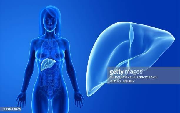 bildbanksillustrationer, clip art samt tecknat material och ikoner med female liver, illustration - human body part