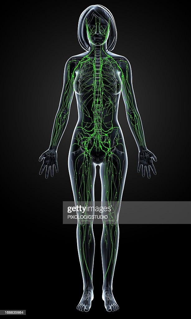 Female Lymphatic System Artwork Stock Illustration Getty Images