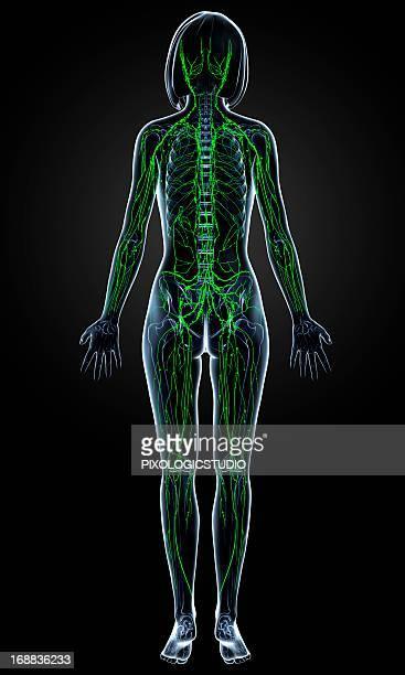 female lymphatic system, artwork - translucent stock illustrations
