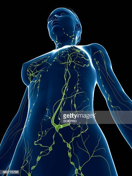 female lymphatic system, artwork - immune system stock illustrations, clip art, cartoons, & icons