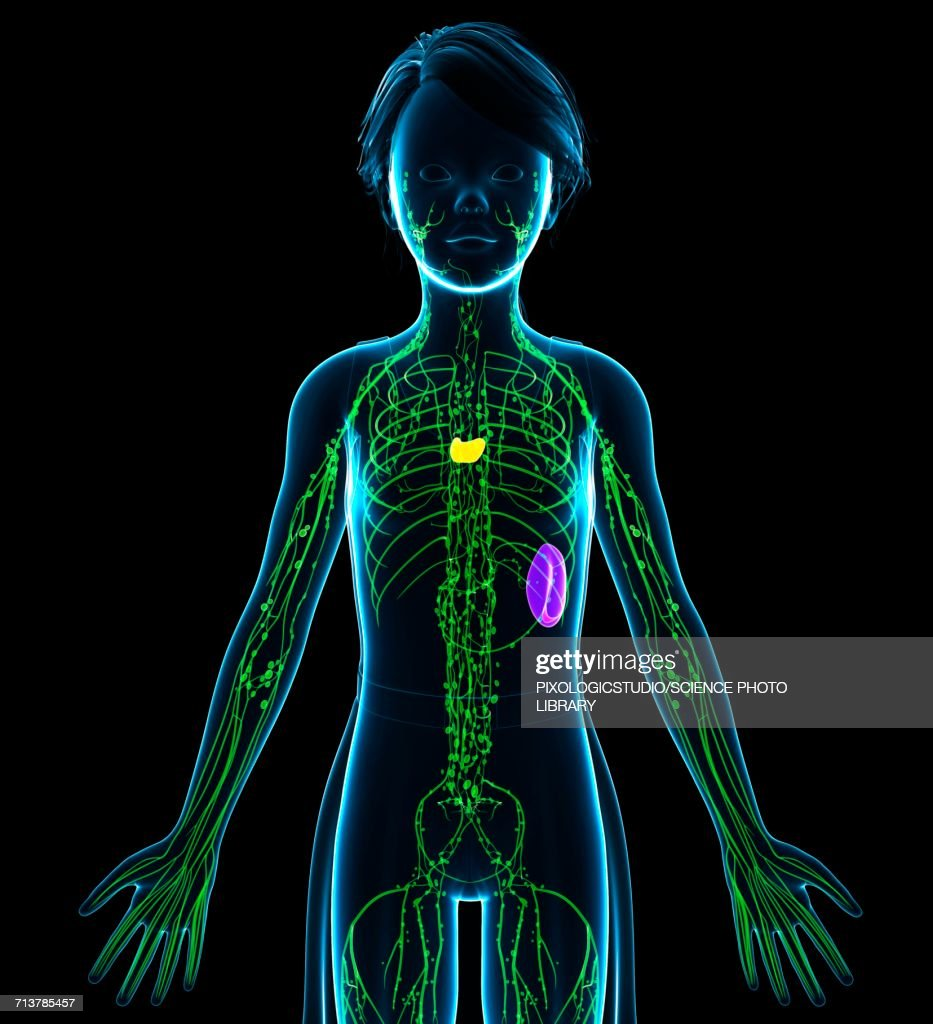 Female Lymphatic System Illustration Stock Illustration Getty Images