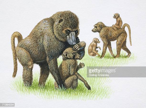 female mandrills, mandrillus sphinx, grooming and carrying their young on grass, side view. - mandrill stock illustrations, clip art, cartoons, & icons