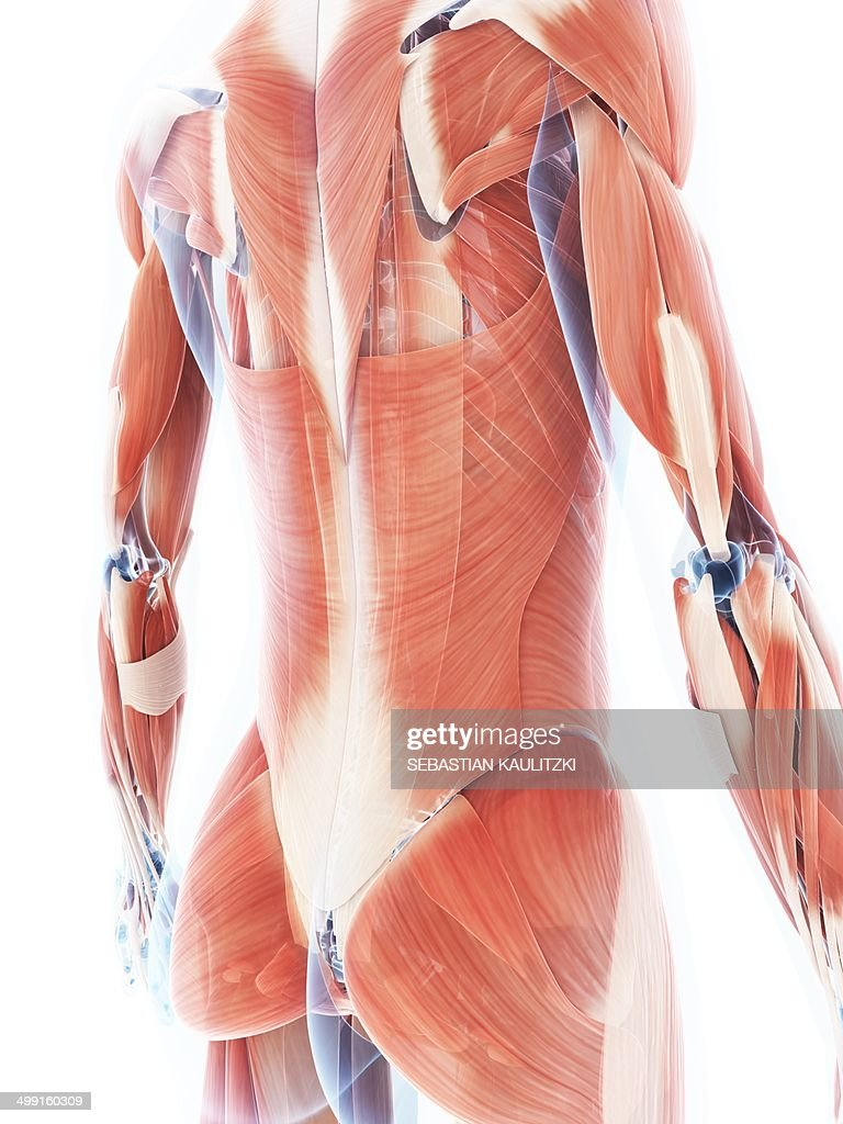 Female Muscular System Artwork Stock Illustration | Getty Images