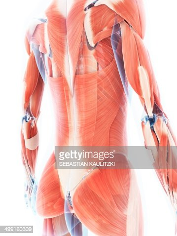 Female Muscular System Artwork Stock Illustration Getty Images
