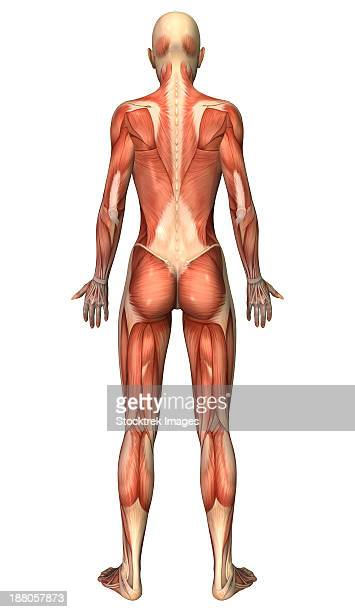 female muscular system, back view. - achilles tendon stock illustrations