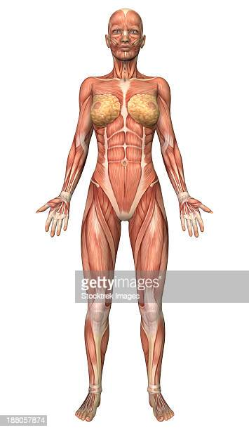 female muscular system, front view. - female likeness stock illustrations