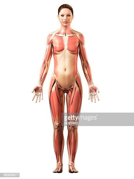 female musculature, artwork - female likeness stock illustrations