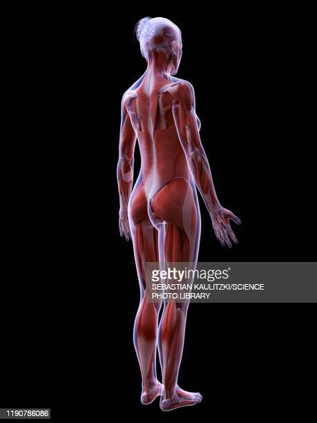 female musculature, illustration - rear view stock illustrations