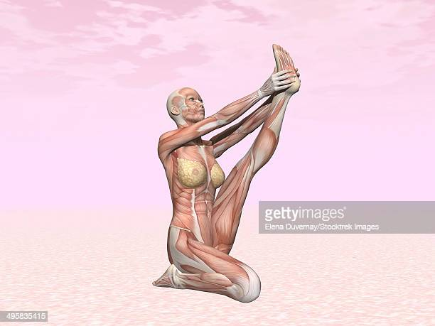 female musculature performing heron yoga pose, pink background. - touching toes stock illustrations, clip art, cartoons, & icons