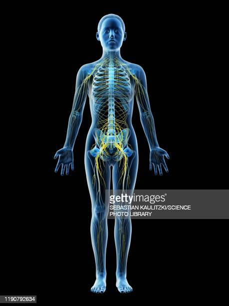 female nervous system, illustration - human body part stock illustrations