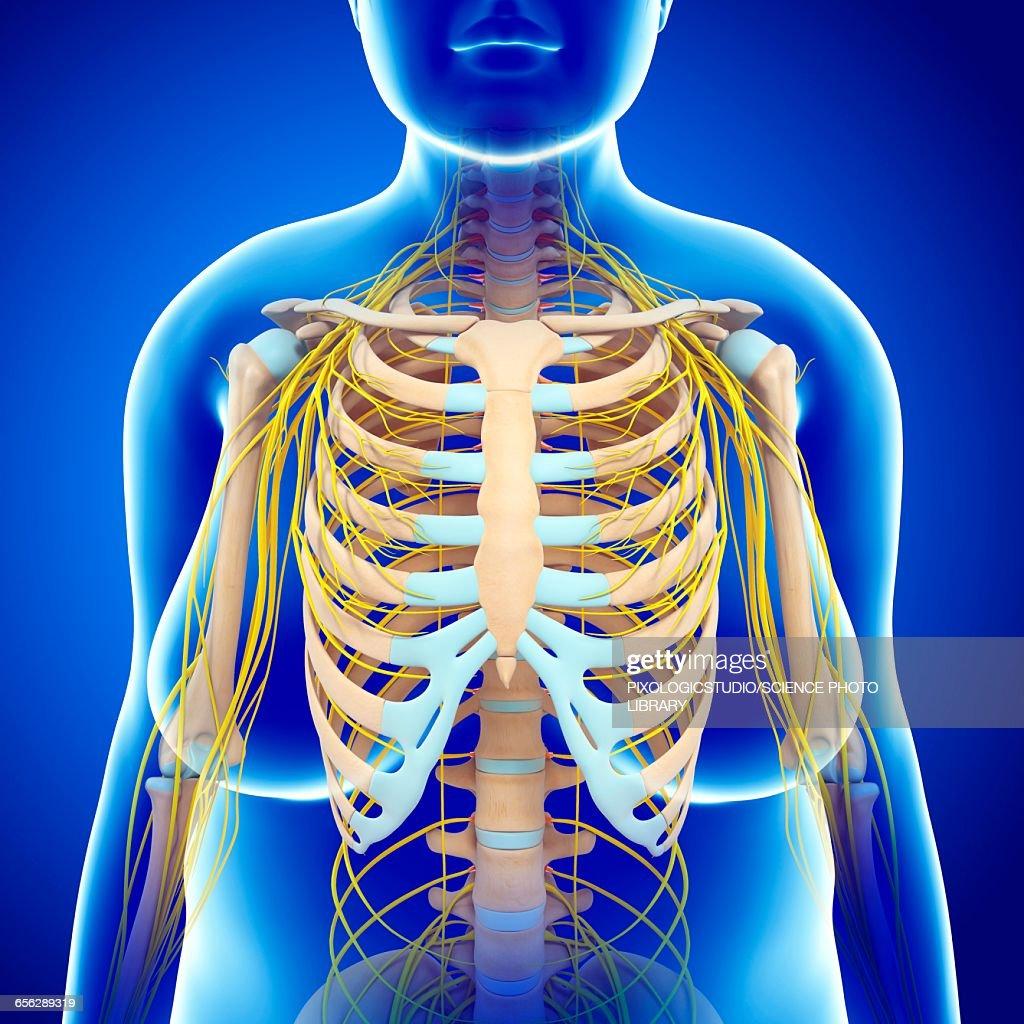 Female nervous system illustration stock illustration getty images female nervous system illustration stock illustration ccuart Images