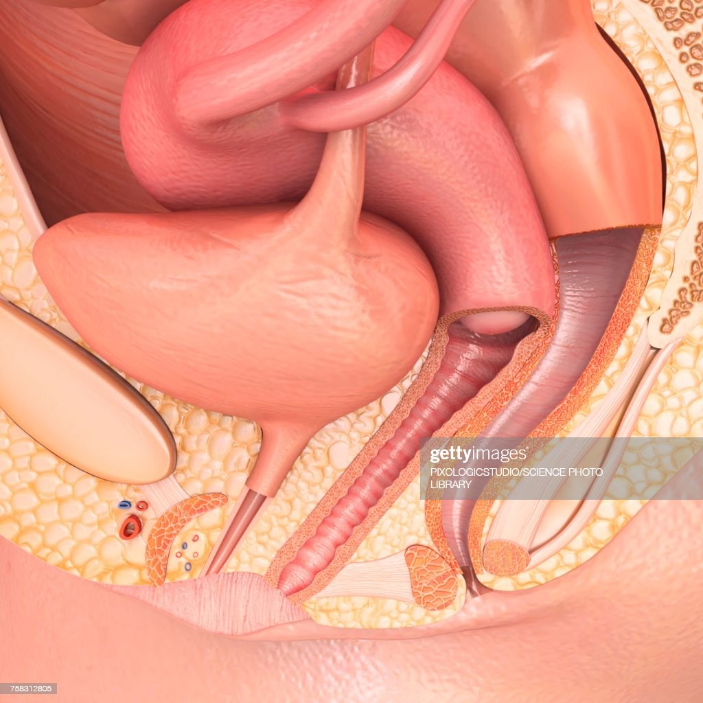 Female Pelvic Anatomy Illustration Stock Illustration | Getty Images