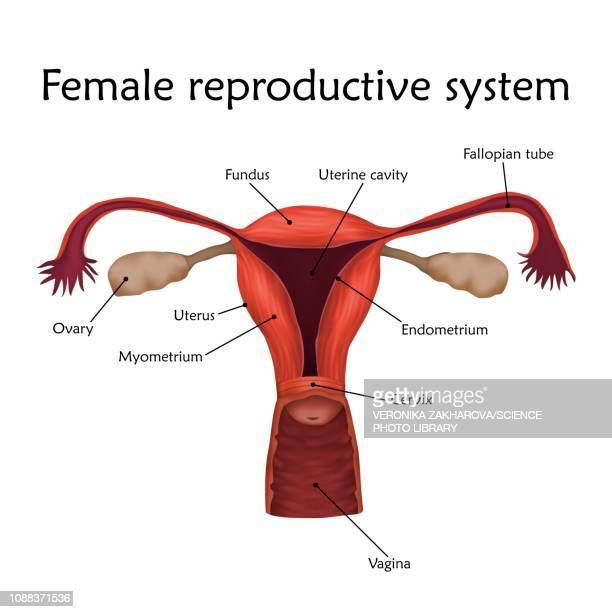 female reproductive system, illustration - uterus stock illustrations