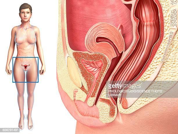 female reproductive system, illustration - female reproductive system stock illustrations