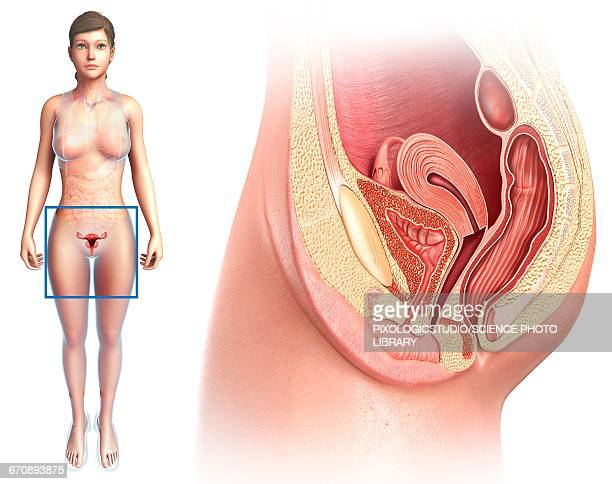 female reproductive system, illustration - anatomy stock illustrations