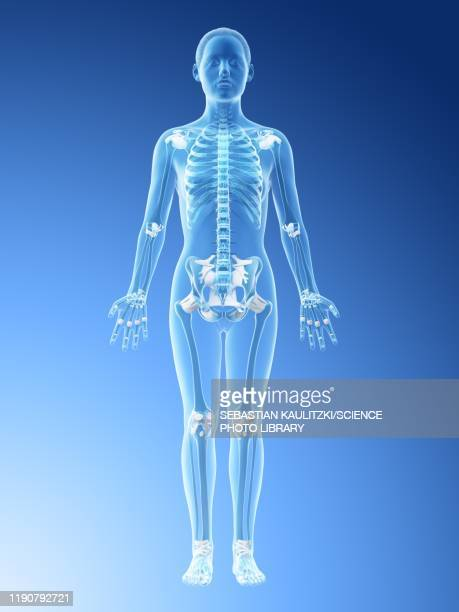 female skeleton and ligaments, illustration - front view stock illustrations