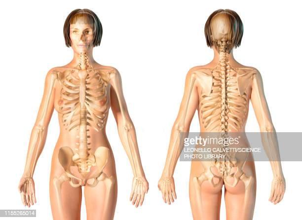 female skeleton, illustration - hip body part stock illustrations, clip art, cartoons, & icons