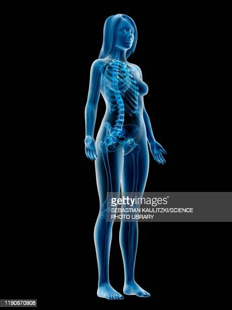 female skeleton, illustration - human body part stock illustrations