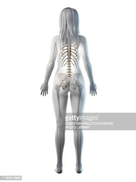 female skeleton, illustration - rear view stock illustrations