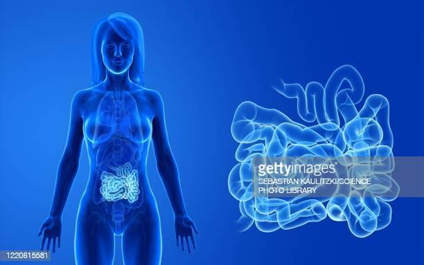 female small intestine, illustration - small stock illustrations