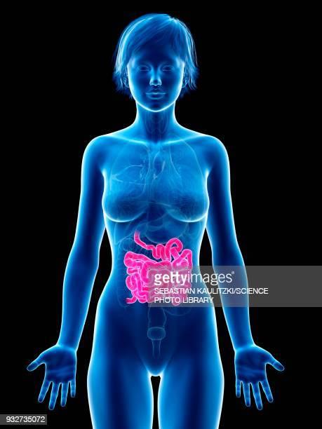 female small intestine, illustration - human small intestine stock illustrations