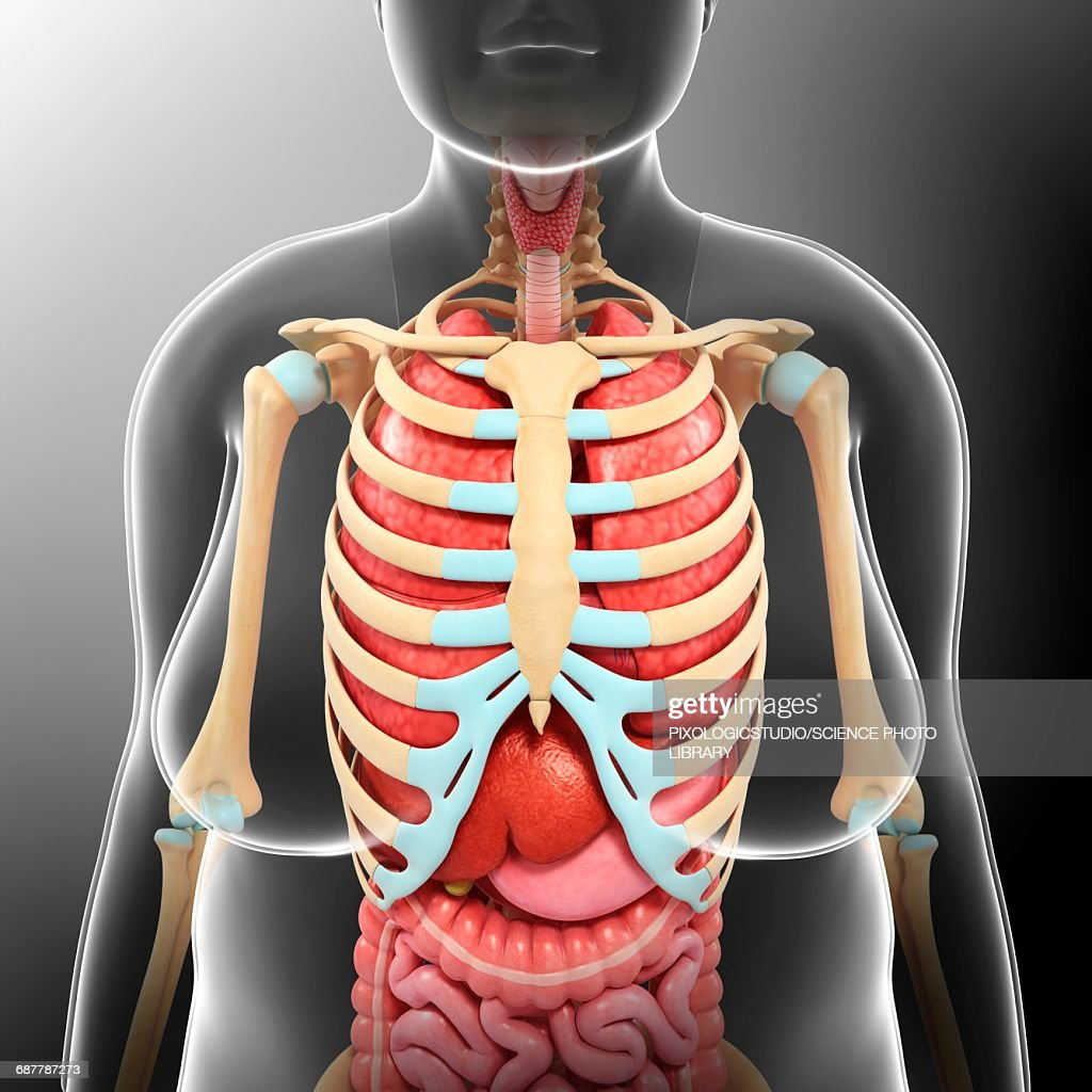 Female Torso Anatomy Illustration Stock Illustration | Getty Images