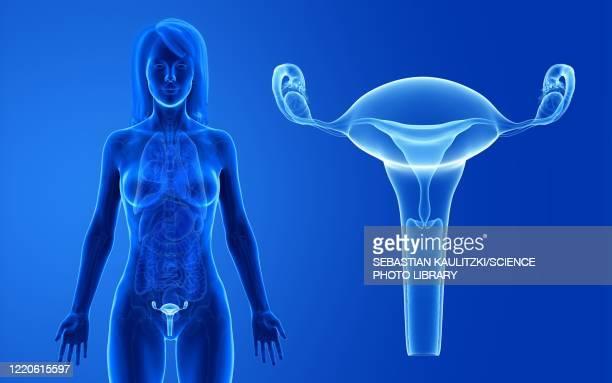 female uterus, illustration - 産科医点のイラスト素材/クリップアート素材/マンガ素材/アイコン素材