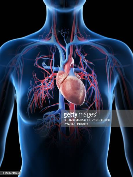 female vascular system, illustration - anatomy stock illustrations