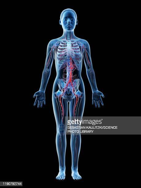 female vascular system, illustration - the human body stock illustrations