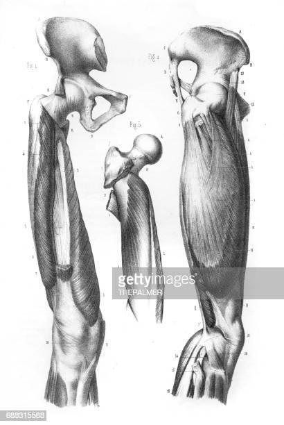 femoral region anatomy engraving 1866 - cardiopulmonary system stock illustrations, clip art, cartoons, & icons