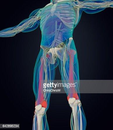 Femur Bone Human Anatomy 3d Illustration Stock Illustration