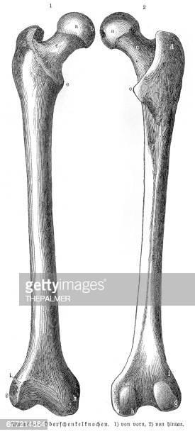 ilustraciones, imágenes clip art, dibujos animados e iconos de stock de anatomía de los huesos fémur grabado de 1857 - hueso de la pierna