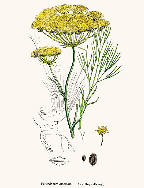 Fennel Plant Scientific Illustration Wall Art