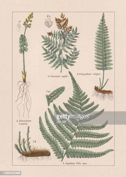 ferns, chromolithograph, published in 1895 - chromolithograph stock illustrations