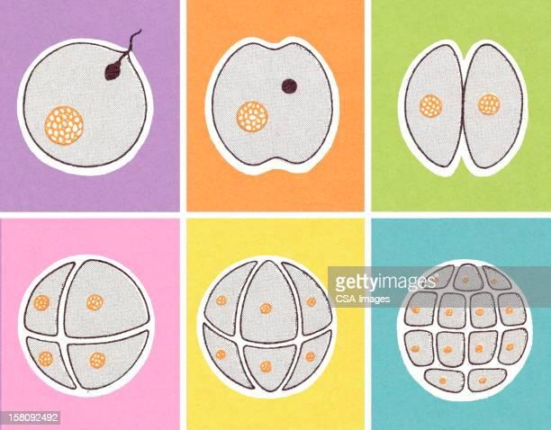 Fertilzed Egg Dividing