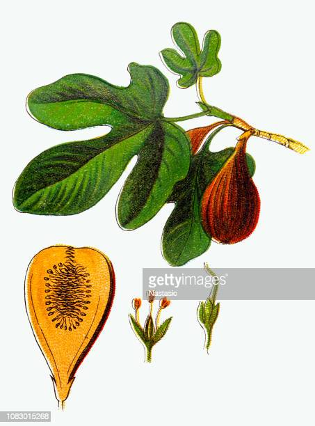 ficus carica (common fig) - fig tree stock illustrations