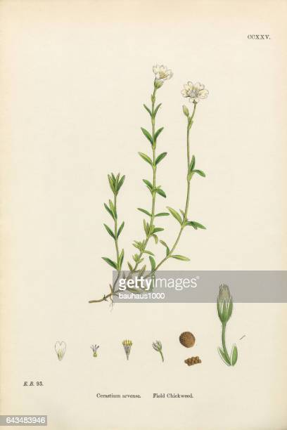 ilustrações, clipart, desenhos animados e ícones de campo chickweed, cerastium arvense, ilustração botânica vitoriana, 1863 - chickweed