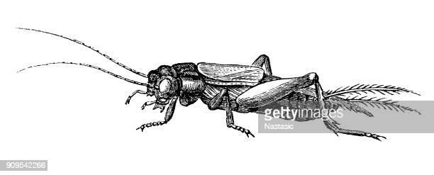 Field cricket (gryllus domesticus)