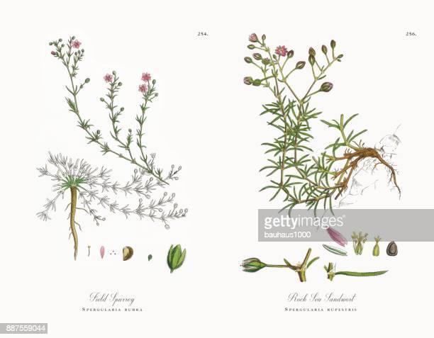 field spurrey, spergularia rubra, victorian botanical illustration, 1863 - sandwort stock illustrations, clip art, cartoons, & icons