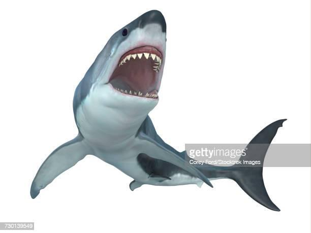 illustrations, cliparts, dessins animés et icônes de a fierce great white shark illustration.  - requin